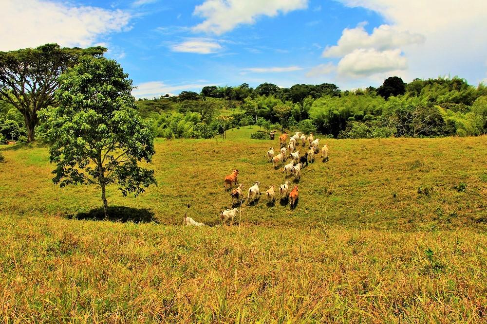 altomira-ganado-cebu