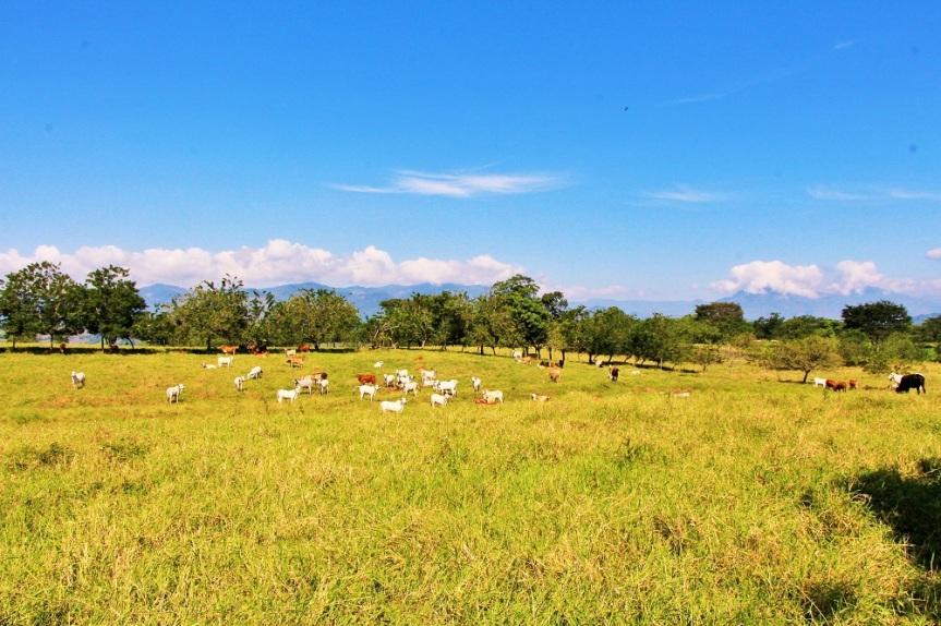 altomira-ganado-pastando