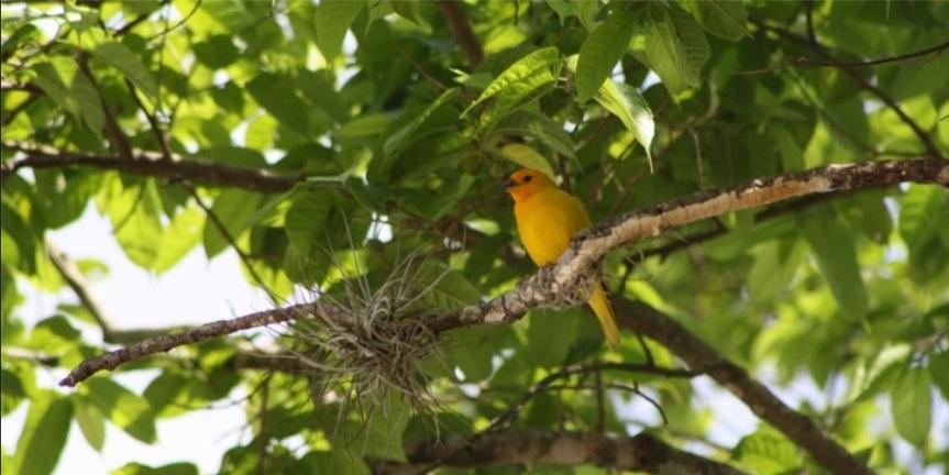canarios-aviturismo-altomira
