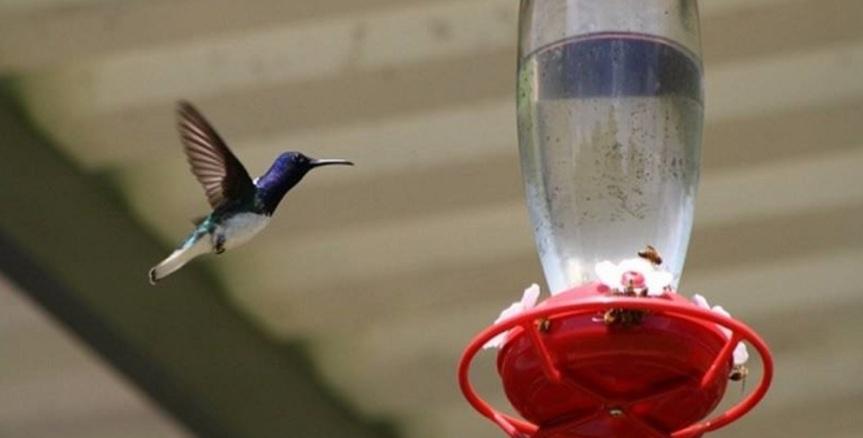 colibri-aviturismo-altomira