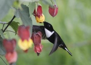 colibri-bosques-de-chec
