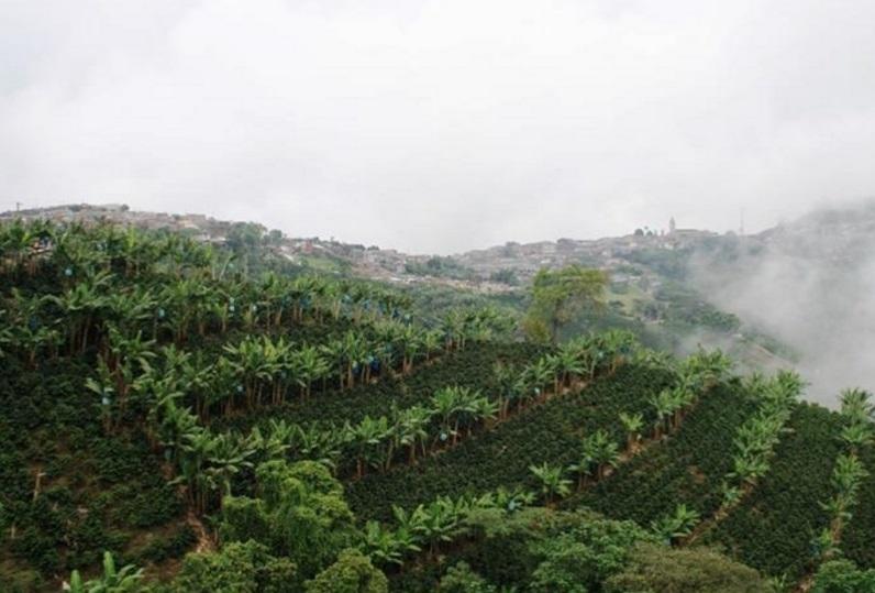 cultivos-cafe-risaralda-caldas-colonizacion-antioquia
