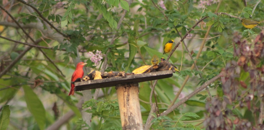 piranga-abejera-cardenales-eufonias
