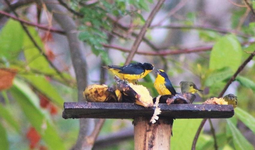 eufonias-aves-de-caldas-altomira