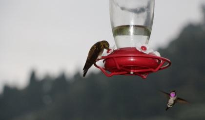 colibries-18