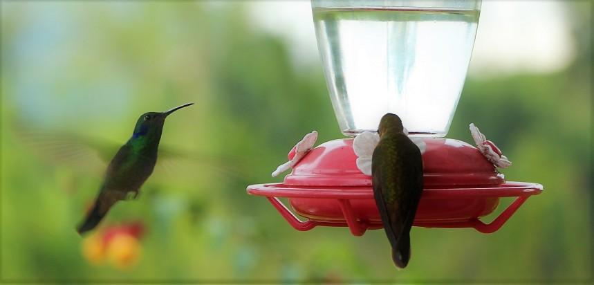 colibries-2