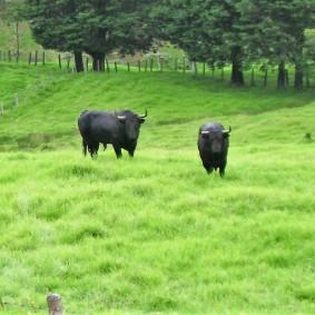 13-pacho-cundinamarca-toros-de-lidia