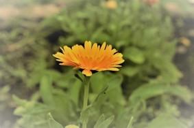 16-pacho-cundinamarca-flores