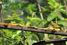 aves-de-manizales-altomira-aviturismo