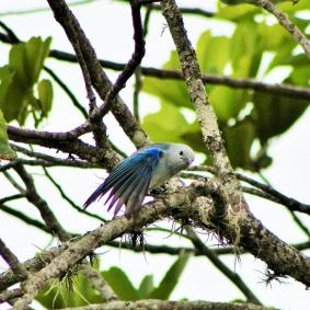 azulejo-comun-aves-de-manizales
