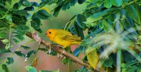 canario-comun-aves-de-altomira-caldas