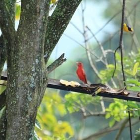 cardenales-euphonias-pajaros-caldas