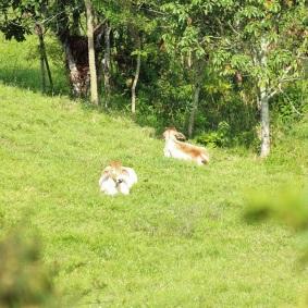 ganado-cebu-altomira-fincas-manizales
