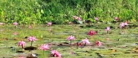 lotos-rosados-lagos-de-altomira