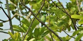 periquito-anteojos-aves-altomira-manizales