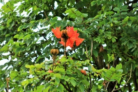 Tulipan-africano-arboles-de-manizales-altomira