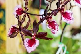 orquideas-recinto-del-pensamiento-manizales-39