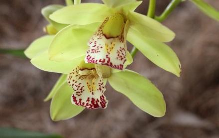 orquideas-recinto-del-pensamiento-manizales-43