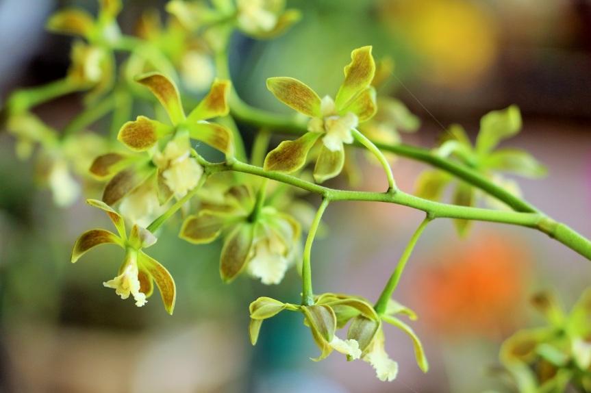 orquideas-recinto-del-pensamiento-manizales-48