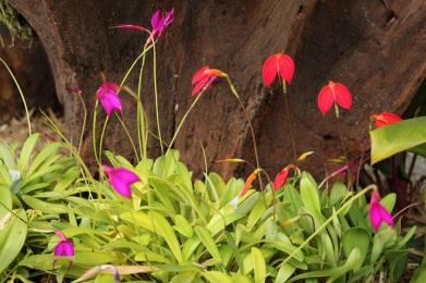 orquideas-recinto-del-pensamiento-manizales-60