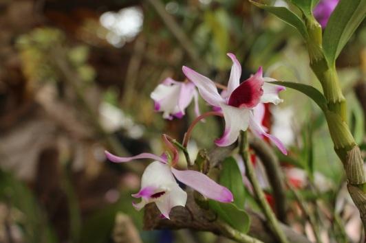 orquideas-recinto-del-pensamiento-manizales-62