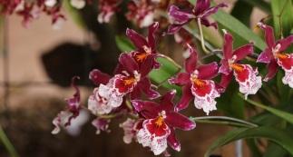 orquideas-recinto-del-pensamiento-manizales-64