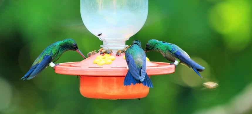 colibries-aviturismo-manizales-1