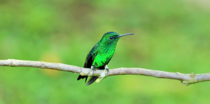colibries-aviturismo-manizales-2