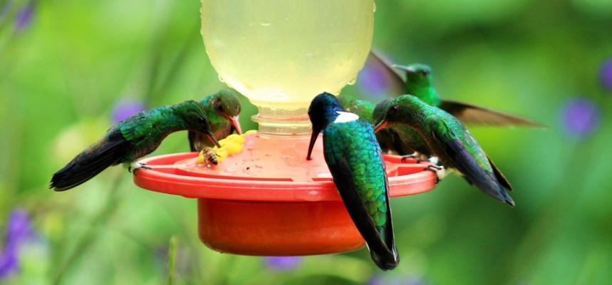 colibries-aviturismo-manizales-4
