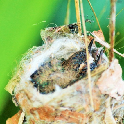 Nido de Colibri